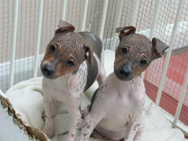 Список гипоаллергенных пород собак