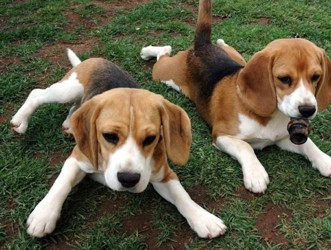 Гончая порода собак бигль