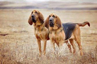 Гончие породы собак