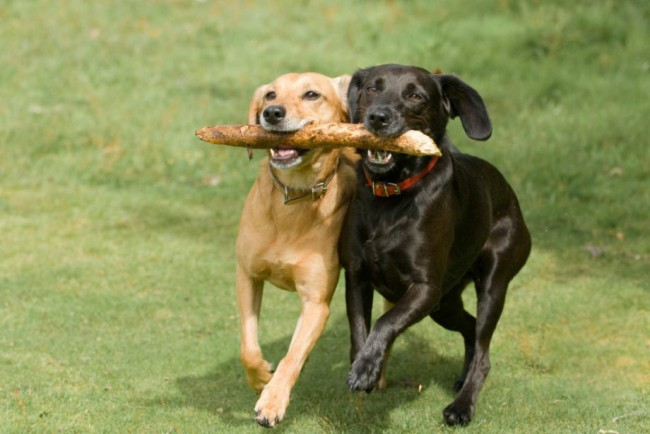 Как научить собаку команде принеси