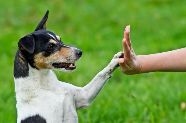 Как научить собаку команде дай пять