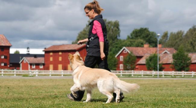 Как научить собаку команде рядом на поводке и без поводка