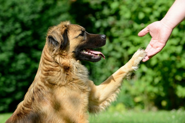 Как научить собаку команде дай лапу