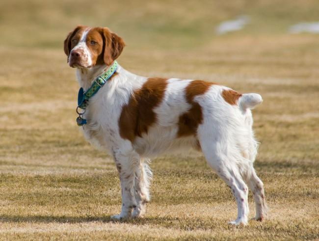 Бретонский эпаньоль фото собаки