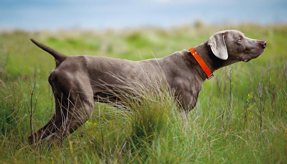 Легавые породы собак