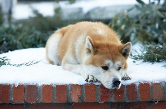 Порода собаки из фильма «Хатико»