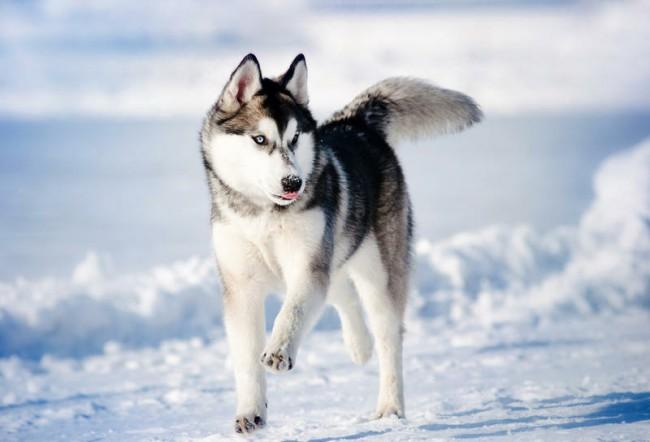Аляскинский хаски фото