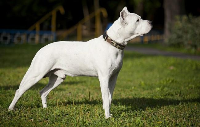 породы короткошерстных собак