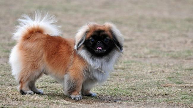 собака породы пекинес фото