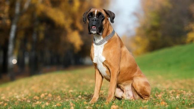 немецкий боксер - породы собак с фото и названиями