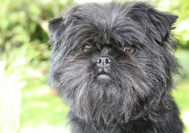 серо дымчатая собака