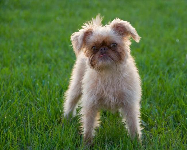 брюссельский-гриффон - породы собак с фото и названием пород