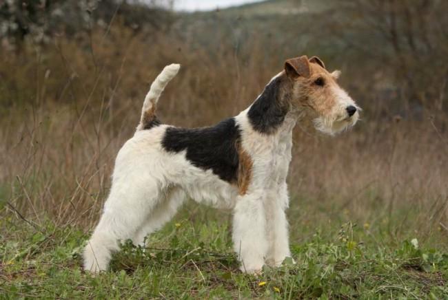 жесткошерстный фокстерьер - породы собак