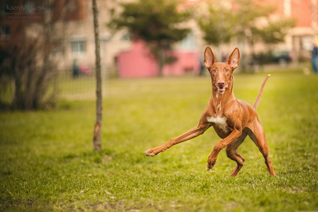 фараонова порода собак фото