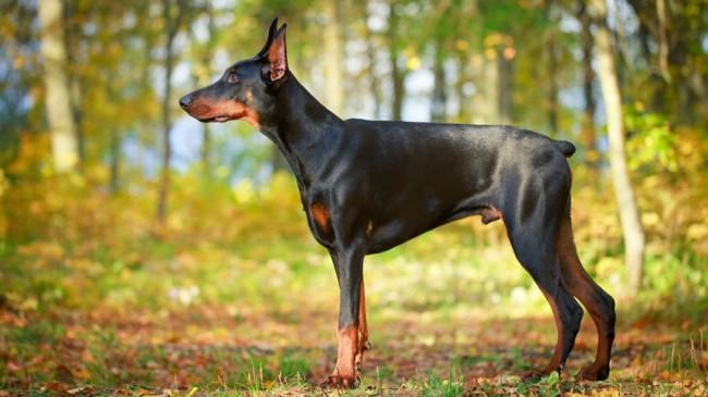 доберман - фото собак разных пород