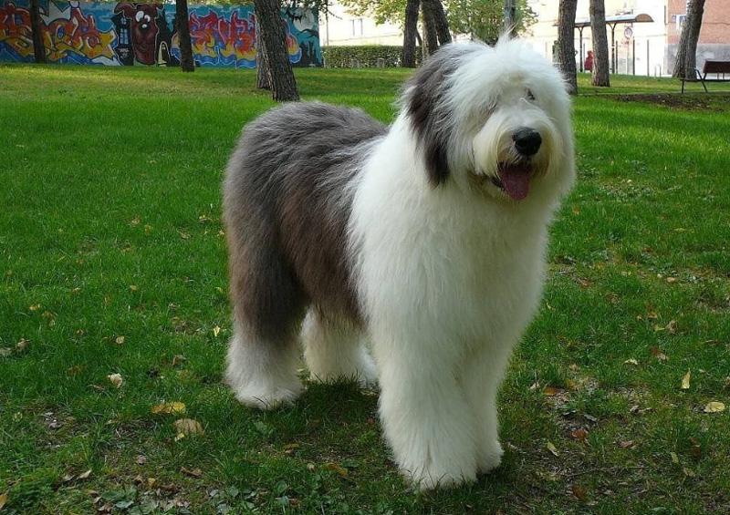 Бобтейл порода собаки