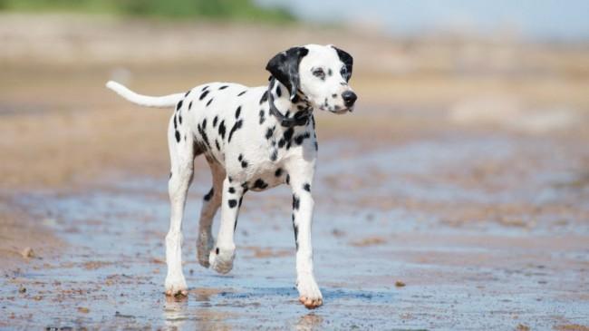 далматин порода собак фото
