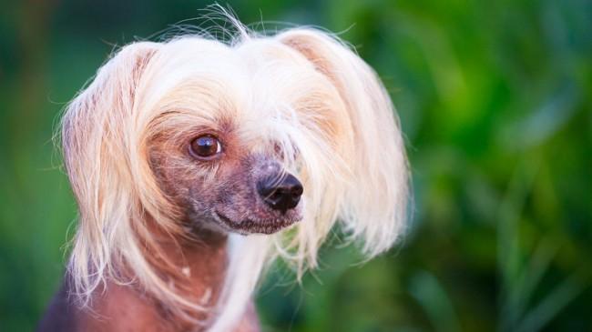 китайская хохлатая собака фото и цена