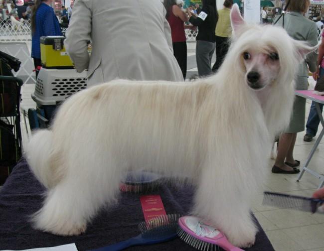 китайская хохлатая пуховая собака фото