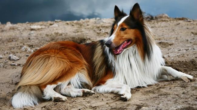 собака породы колли фото