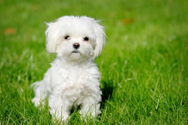 мальтезе фото собаки