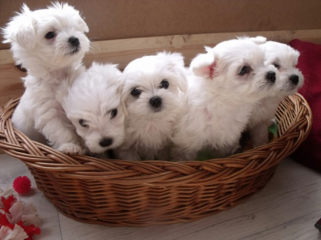 щенки мальтийской болонки фото