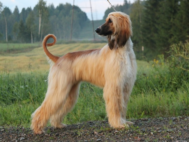 светло-рыжая афганская борзая собака