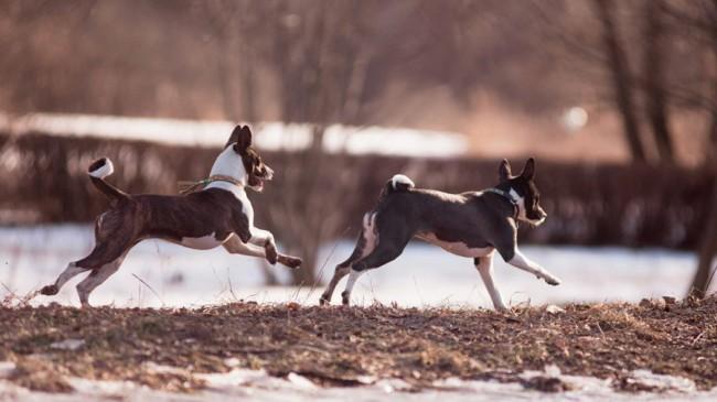лесная собака из Конго