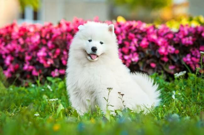 самоедская собака цена