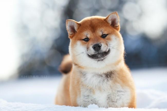 сиба-ину фото собаки