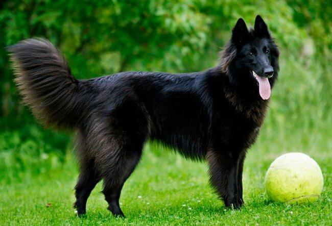 черная бельгийская овчарка