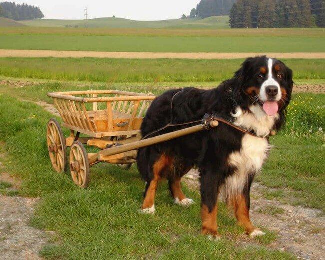 бернская овчарка описание породы