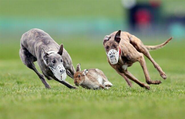 охота на зайца грейхаунд