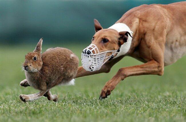 дрессировка грейхаунда на зайца