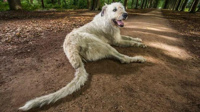самый длинный хвост ирландского волкодава