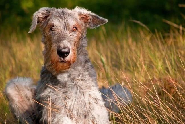 ирландская борзая собака