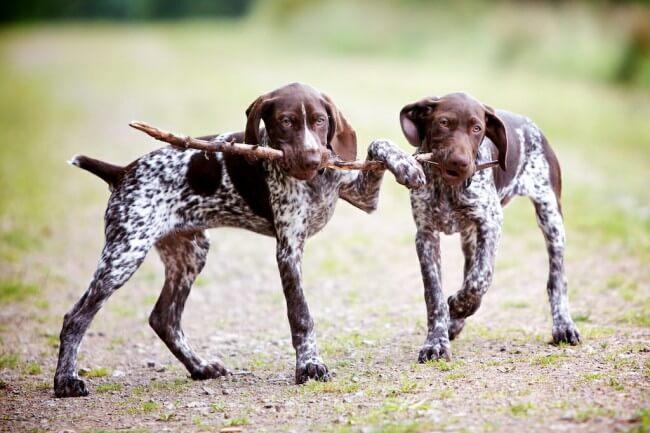 собака курцхаар фото