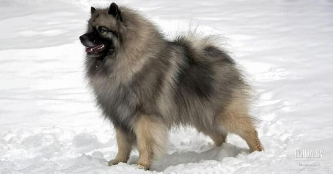 немецкий шпиц волчьего окраса