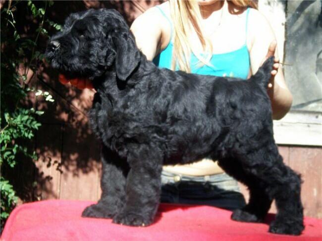 щенок русского черного терьера