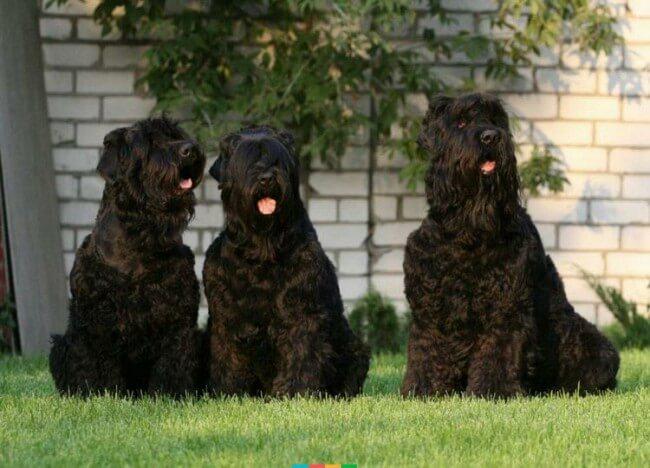 Породы собак черные
