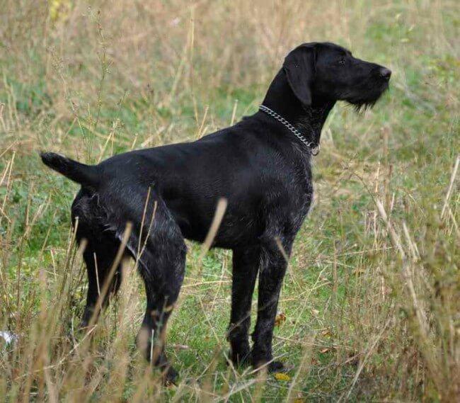 порода собак дратхаар фото и цена