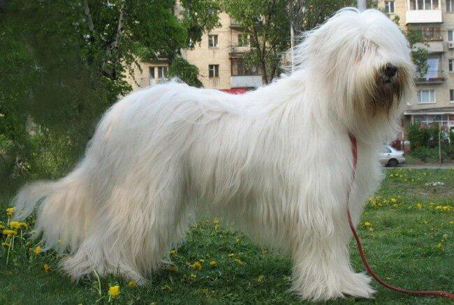 Украинская овчарка белого цвета