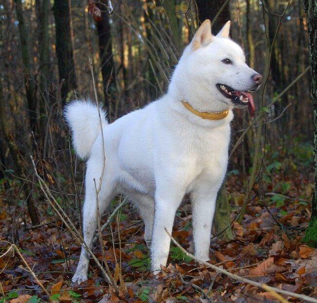Хоккайдо белая порода собак