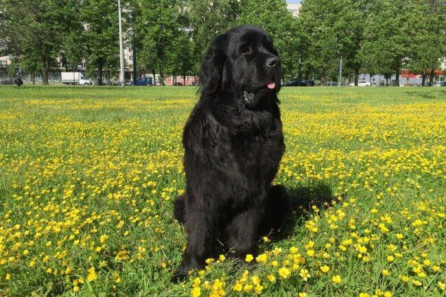 Порода черных собак ньюфаундленд