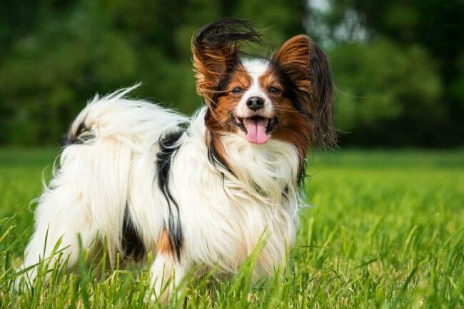 Красивые породы маленьких собак