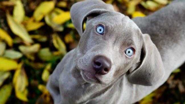 сколько стоит веймаранер щенок