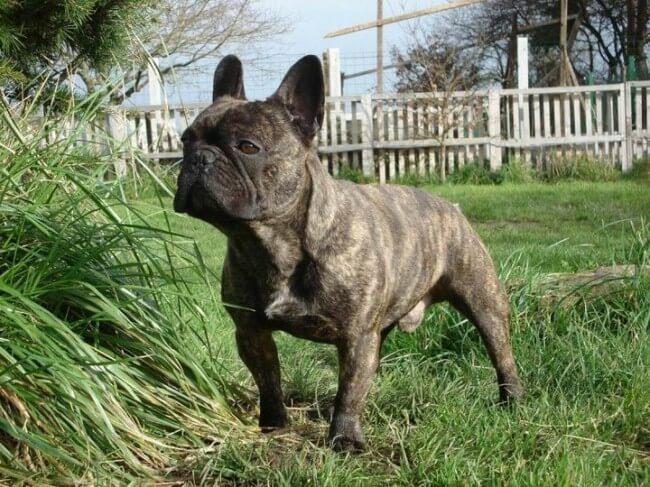 щенок французского бульдога