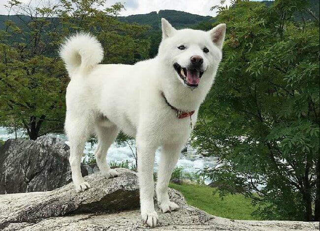 Хоккайдо собака фото