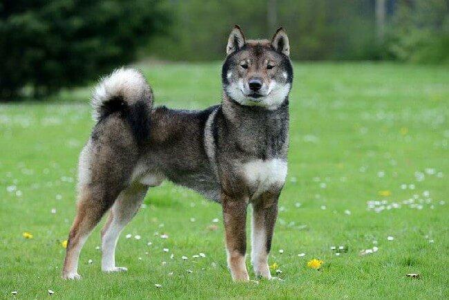 Сикоку собака фото