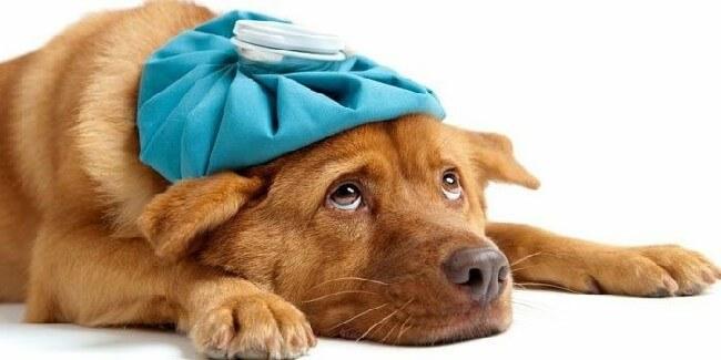 Цистит у собак [руководство по лечению]